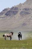 Cavalos selvagens em Utá Fotografia de Stock Royalty Free