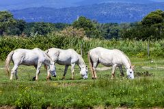 Cavalos selvagens, Itália Fotos de Stock