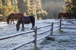 Cavalos selvagens na manhã fria Imagem de Stock Royalty Free