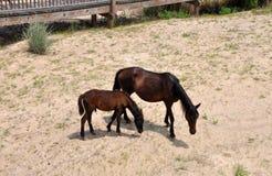 Cavalos selvagens na praia Fotografia de Stock Royalty Free