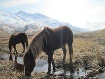 Cavalos selvagens no campo no Kodiak, Alaska foto de stock