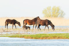 Cavalos selvagens no delta de Danúbio, Roménia Foto de Stock