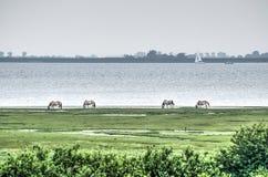 Cavalos selvagens no lago Grevelingen fotos de stock royalty free
