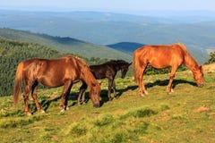 Cavalos selvagens no monte fotografia de stock royalty free