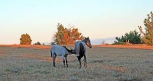 Cavalos selvagens no por do sol - Roan Colt azul que nutre sua mãe roan azul da égua em Tillett Ridge nas montanhas de Pryor de M fotografia de stock