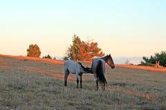 Cavalos selvagens no por do sol - Roan Colt azul que nutre sua mãe roan azul da égua em Tillett Ridge nas montanhas de Pryor de M imagens de stock