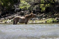 Cavalos selvagens no Salt River, floresta nacional de Tonto Fotografia de Stock