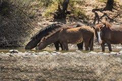 Cavalos selvagens no Salt River, floresta nacional de Tonto Imagens de Stock Royalty Free