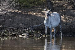 Cavalos selvagens no Salt River, floresta nacional de Tonto Foto de Stock Royalty Free