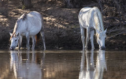 Cavalos selvagens no Salt River, floresta nacional de Tonto Fotografia de Stock Royalty Free