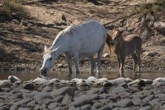 Cavalos selvagens no Salt River, floresta nacional de Tonto Fotos de Stock Royalty Free