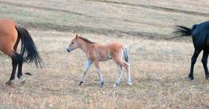 Cavalos selvagens - potro do potro do bebê em Sykes Ridge na escala do cavalo selvagem das montanhas de Pryor na beira de Montana fotografia de stock royalty free