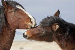 Cavalos selvagens que estabelecem o domínio fotos de stock royalty free