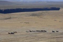 Cavalos selvagens que funcionam através do sagebrush fotografia de stock royalty free