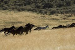 Cavalos selvagens que funcionam na grama alta Fotografia de Stock Royalty Free