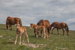 Cavalos selvagens que pastam no campo verde da montanha em Úmbria foto de stock