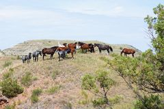 Cavalos selvagens que travam uma brisa fotografia de stock royalty free
