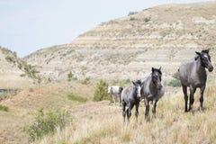 Cavalos selvagens que travam uma brisa Foto de Stock