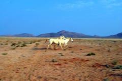 Cavalos selvagens Running de Namíbia Imagem de Stock