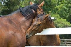 Cavalos Snuggling fotografia de stock royalty free