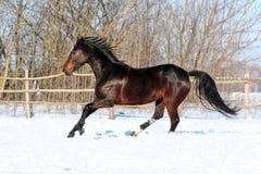 Cavalos ucranianos da raça do cavalo Imagem de Stock Royalty Free