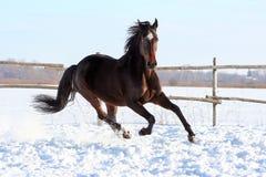 Cavalos ucranianos da raça do cavalo Fotos de Stock Royalty Free