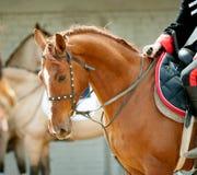 Cavalry horse portrait closeup Stock Photos