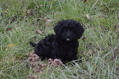 Cavapoo Darling. Black cavapoo puppy playing in the grass Royalty Free Stock Photos