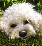 Cavapoo Dog - Face shot Stock Photos
