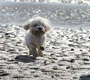 Cavapoo Dog Running Across Sand on the Beach Stock Photos