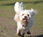 Cavapoo-Hund, der zur Kamera läuft stockbild