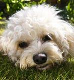 Cavapoo-Hund - Gesichtsschuß stockfotos