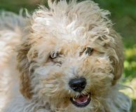 Cavapoo Puppy. Close-up of a Cavapoo puppy Stock Photos