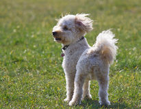 Cavapoo puppy staring. Standing on grass Royalty Free Stock Image