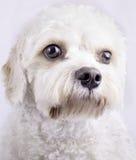 Cavapoo Toy Dog Stock Foto's