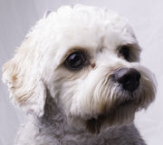 Cavapoo Toy Dog Royalty-vrije Stock Fotografie