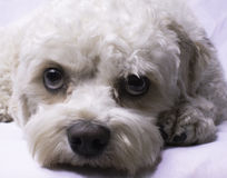 Cavapoo Toy Dog Foto de Stock Royalty Free