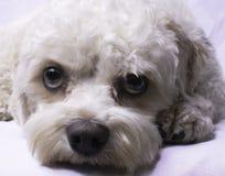Cavapoo Toy Dog Lizenzfreies Stockfoto
