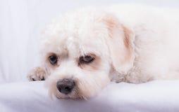 Cavapoo Toy Dog Royalty-vrije Stock Foto's
