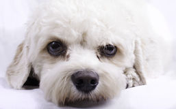 Cavapoo Toy Dog. Portrait of a cavapoo toy dog stock photography