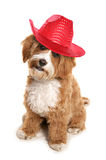 Cavapoo wearing red cowboy hat Royalty Free Stock Image