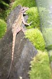 Cave anole. On the rock stock photo