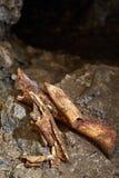 Cave bear fossils closeup Stock Photography