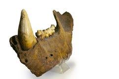 Cave Bear Jaw stock photos