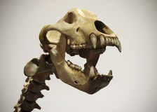 A Cave Bear Neck and Skull, Ursus spelaeus Stock Photos