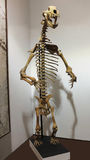 A Cave Bear Skeleton at GeoDecor Fossils & Minerals Stock Images
