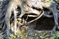 Cave beast under the roots of trees.  Royalty Free Stock Photography