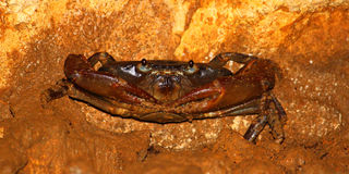 Cave Crab Puerto Rico Stock Photography