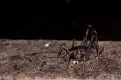 Free Cave Cricket. Stock Images - 122732894
