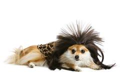 Cave Dog royalty free stock image